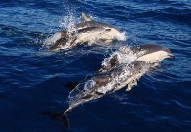 AB Karadeniz Yunusları Koruma Projesi